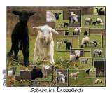 Schafe im Langgüetli