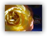 Rose mit Knospe