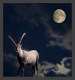 Steinbock im Mondlicht