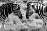NAMIBIA : B&W ZEBRA