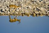 NAMIBIA : ETOSHA NATIONAL PARK