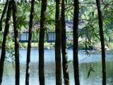 Morikami Gardens bamboo