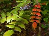Leather Leaf Mahonia