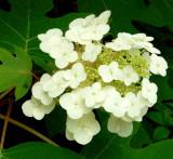 Oak Leaf Hydrangea and Fly