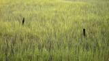 Marsh Grass in Rain