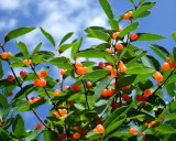orange berries (picture taken at local playground)
