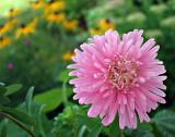 pink aster