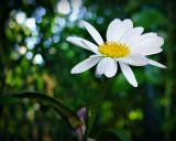daisy 3.jpg