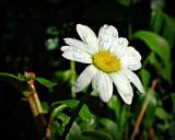 daisy 4.jpg