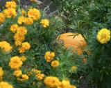 pumpkin CRW_5294.jpg