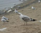 seagull lookin at me.jpg