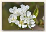 notre poirier en fleurs