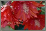 Three  epiphyllum  ackermanii