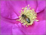 Bee on a rugosa