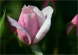 Souvenir de St. Anne's rosebuds