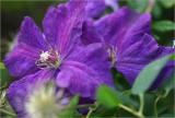 Clematis in the rose garden