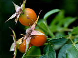 Rose hips - Coppelia