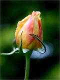 Rosebud - Valencia