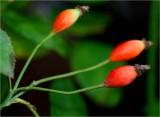 Rosehips - Dupontii