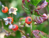 Rose hips and autumn leaves - Baby Faurax