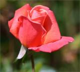 Rose bud - Royal Dane
