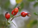 Rose hips Eglantine