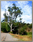 Old gumtree & the low fence