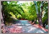 Elm tree walkway