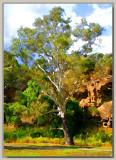 Ancient gum tree alongside creek