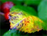 Penelope rose leaf