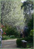 Blossom trees and camellias