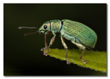 Phyllobius argentatus