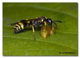 Symmorphus murarius