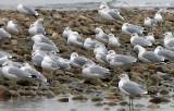 Sarnia Seagulls