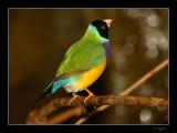 Aviary 035