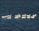Ross's Geese and Snow Geese
