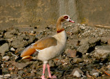 Egyptian Goose at Eel Pie Island