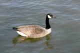 Canada Goose with a ring on its leg.