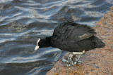 Coot have very large feet for their size.