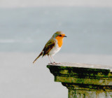 A Robin watches me.