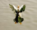 Egyptian goose landing.