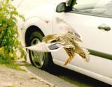 Confused duck nearly flies into open van door.