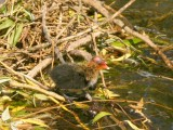 Very young Coot takes his first steps.