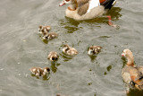 Young Egyptian Geese.