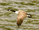 Canada goose ready to land.