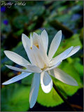 The White Lily (02)