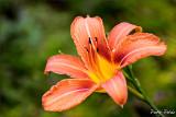 Red Blossom I