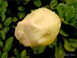 Blooming Bud II