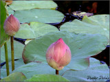 The Pink Lotus Bud