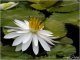 White Petal Lily